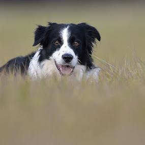Nicke by Ronnie Bergström - Animals - Dogs Portraits ( sweden, dogs, border collie, grass, nicke, landscape, dog )