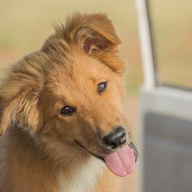 Yes mum  by Suzanne McCowen - Animals - Dogs Portraits ( #workingdog, #sablebordercollie, #bordercollie, #puppyportrait, #bordercolliepuppy,  )
