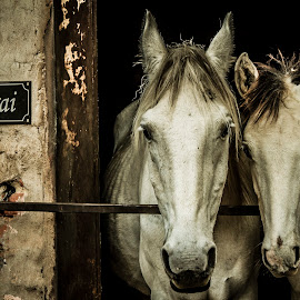 by Andre Oelofse - Animals Horses