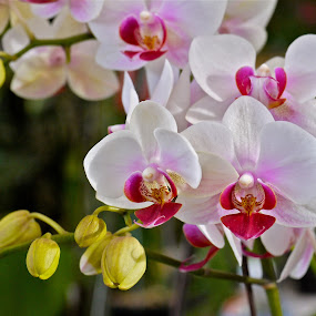 Orchids by Rozi Rahman - Nature Up Close Flowers - 2011-2013 ( orchids, flower, close-up )