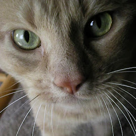 by Denny Shoopman - Animals - Cats Portraits (  )