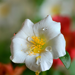 White Beauty by Dibyendu Banik - Novices Only Flowers & Plants ( white, flower )