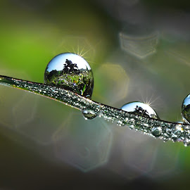 Dews by Muhamad Lazim - Nature Up Close Water ( macro photography, dew )