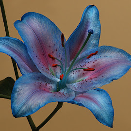 Blue/Pink Lily by Chrissie Barrow - Flowers Single Flower ( stigma, red, single, stamens, lily, blue, petals, pink, stem, cut, flower )