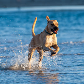 Applause by Kevin Mummau - Animals - Dogs Running ( dog park, play, ocean, beach, dog beach )