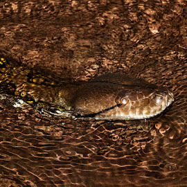 Reticulated Python by Mel Stratton - Animals Reptiles ( python, reticulated python, snake, reticulated, reptile )