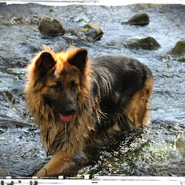 Oscar in the river by Jon Horlor - Animals - Dogs Playing ( playing, wet, dog, german shepherd, river )