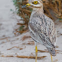 Eurasian Stone-curlew.