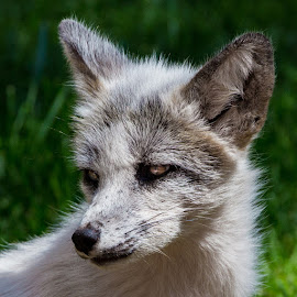White Fox by Mike Vaughn - Animals Other Mammals