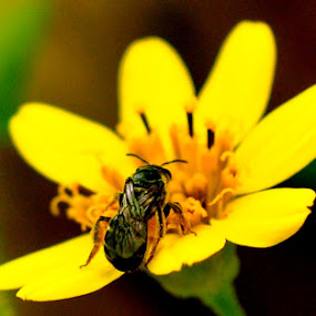Bee & flower by Syarief Wiranegara - Nature Up Close Gardens & Produce