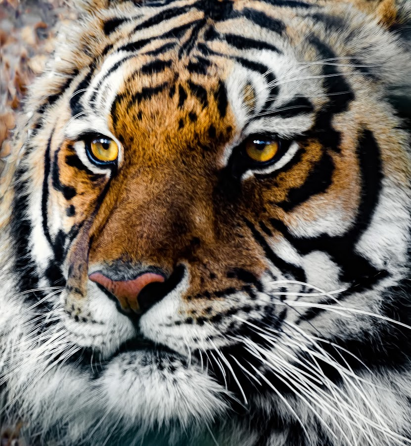 Tiger by Dave Lipchen - Animals Lions, Tigers & Big Cats ( tiger )