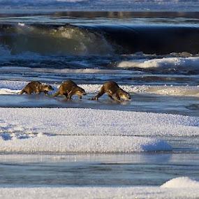 FOLLOW ME by Zoritza  Wejnfalk - Animals Sea Creatures ( is, otter, snow, sea, zoritza, wejnfalk )