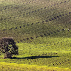 at an old pear by Josef Hasík - Landscapes Prairies, Meadows & Fields ( field, green, yellow, stripes, black, deer )