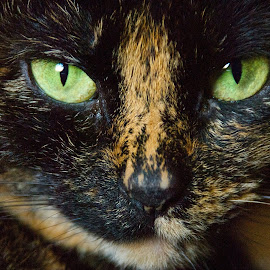 The Shimmering Green by Taylor Gillen - Animals - Cats Portraits ( calico, cat, green eyes, close up, portrait )