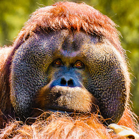 Contemplative Orangutan by Judy Rosanno - Animals Other Mammals ( 1799-lr2, houston zoo,  )