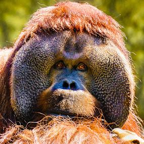 Contemplative Orangutan by Judy Rosanno - Animals Other Mammals ( 1799-lr2, houston zoo,  )