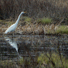 Egret Reflection by Kristine Nicholas - Novices Only Wildlife ( egret, brush, pond, reflection, reflections, wetland, marshes, water bird, birds, water fowl, water, egrets, wetlands, grasses, white, grass, bird, white bird, marsh,  )