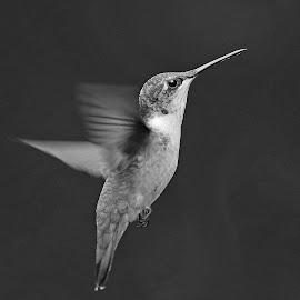 Humming in B & W by Anthony Goldman - Black & White Animals ( flight, tampa, bird, hummingbird, b & w, ruby -throat, wild, wildlife )