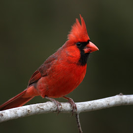 Northern Cardinal by Rusty Wood - Animals Birds ( bird, animals, red, cardinal, nature, northern cardinal, feather, birds, animal,  )