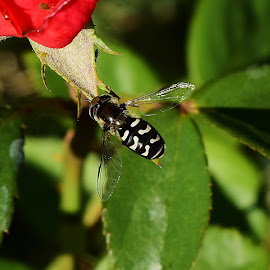 A fly that acts like a bee by Denton Thaves - Animals Insects & Spiders ( bees, insects, flies )