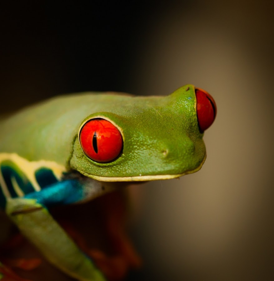 Red eyes by Dave Dupéré - Animals Amphibians