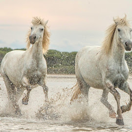 Camargue mares 5 by Helen Matten - Animals Horses ( water, galloping, mares, wild, two, horses, camargue, white, france, beach, the, in )