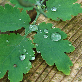 Green drop by IL Oveart - Nature Up Close Leaves & Grasses ( green leaf drop nature close )