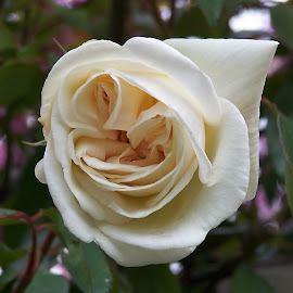 Rose by Sarah Harding - Novices Only Flowers & Plants ( plant, nature, novices only, garden, flower )