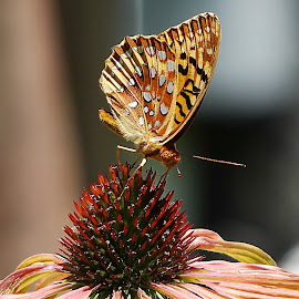 by Paulette King - Animals Insects & Spiders ( nature, butterflies, wildlife, flower, fritilliaries,  )