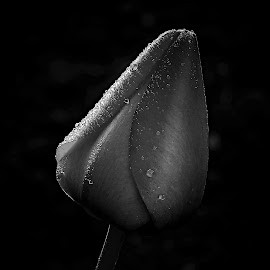 the sun and Tulip by Vláďa Lipina - Black & White Flowers & Plants