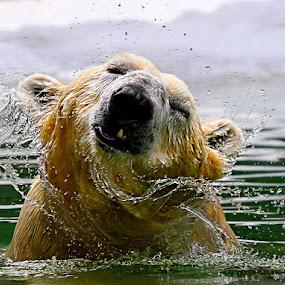 Polar Shake by John Larson - Animals Other Mammals ( carnivorous bear, fantastic wildlife, maritime bear, vulnerable species, polar bear, arctic circle,  )