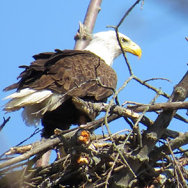 Bald Eagle by Erika  Kiley - Novices Only Wildlife ( bird, eagle, nest, hunting, spring, mom )