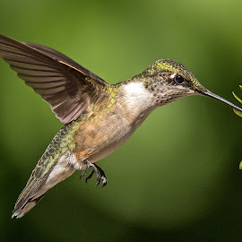 Wondering To Myself by Roy Walter - Animals Birds ( female, hummingbird, wildlife, ruby throat, animal )