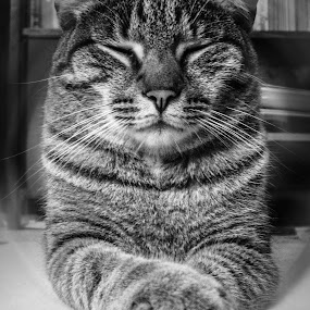 Zen Cat by Even Steven - Animals - Cats Portraits ( calm, cat, monochrome, tiger, relax, domestic, close up, close, eyes, zen, meditate, paws, feline, yoga )