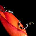 Slender snail eater