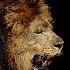 Male Lion portrait by Danny Robbins - Animals Lions, Tigers & Big Cats (  )