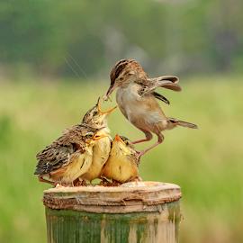 Acrobatics by Husada Loy - Animals Birds