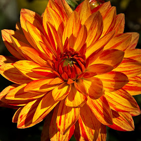 dream in orange by Thomas Stroebel - Nature Up Close Flowers - 2011-2013 ( orange, yellow, close up, dahlia, flower )