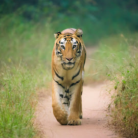 Madhuri - The tigress by Praveen Chandra - Animals Lions, Tigers & Big Cats ( tigress, madhuri - the tigress, tiger, tadoba, madhurithetigress )