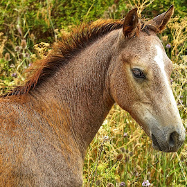 Colt by Gaylord Mink - Animals Horses ( colt, lookiing, horse, head )