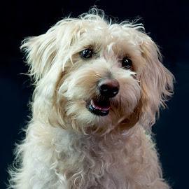Sweet Pea by Morgan Baumgartner - Animals - Dogs Portraits