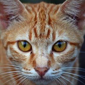 Portraits by Mohd Norsabree Sailan - Animals - Cats Portraits ( amatuer, cats, feel, pwcholidays-dq, cutes, portraits, eyes )