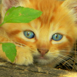 by Karen Hodges - Animals - Cats Kittens ( kitten, orange kitten )