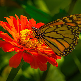 Mighty Monarch by James Kirk - Animals Insects & Spiders ( butterfly, zinnia, monarch, flower )