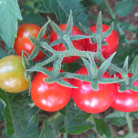 çeri domates by Salih Sarıcaoğlu - Food & Drink Fruits & Vegetables ( sebze, yaprak, yeşil, domates, kırmızı )