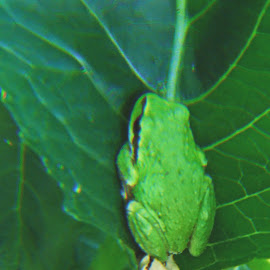 Frog resting on leaf by Grace Grantham - Animals Amphibians ( orcas, tree frog )