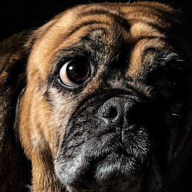 by Peter Murphy - Animals - Dogs Portraits