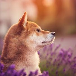 Oushou the King  by Magdalena Sikora - Animals - Dogs Portraits ( shiba inu, dog portait, red dog, dog in lavender, sunrise shiba portait )