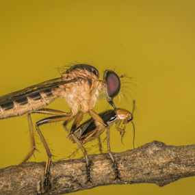 Robber fly extracting intelligence from prey by Calvin Chan - Animals Insects & Spiders