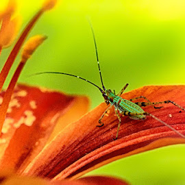 Green bug on a red flower by Radu Eftimie - Nature Up Close Other Natural Objects ( macro, red, lily, green, bug )